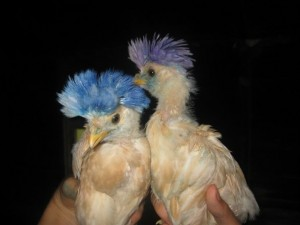 0709_Cohn_punk_chickens_2