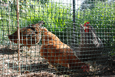 My favorite neighborhood chickens: Lucy, Ethel and Roxie.